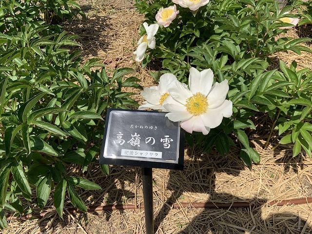 シャクヤク、高値の花